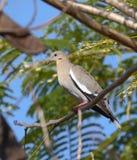 Zenaida asiatica, weiß-winged Stockbild