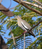 Zenaida asiatica, white-winged. White-winged dove stareing for food Stock Image