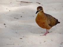 Zenaida Dove bonita, St Thomas, E.U. Ilhas Virgens fotos de stock royalty free