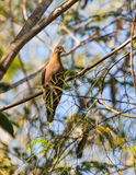 Zenaida Dove in the thicket of the cuban rainforest Royalty Free Stock Photos