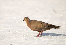 Zenaida Dove Walks on the Beach in the Yucatan, Mexico Royalty Free Stock Photography