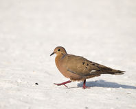 Zenaida Dove Walks on the Beach in the Yucatan, Mexico Royalty Free Stock Images