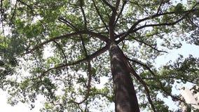 Zenconcept met reusachtige het uitspreiden luifel van een tropische ceibaboom die op wind blazen stock footage