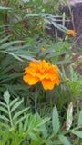 Zendu kwiat Obrazy Royalty Free