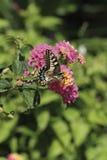 Zenit butterfly. A butterfly feeding on a flower stock photography