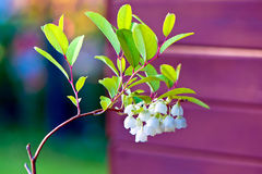 Zenobia pulverulenta flower Royalty Free Stock Photos