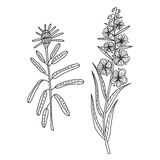 Zentangle the Baikal wildflowers: Cyprus and rosemary Royalty Free Stock Photography