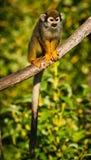 Zentralamerikanische Eichhörnchenaffen lizenzfreies stockfoto