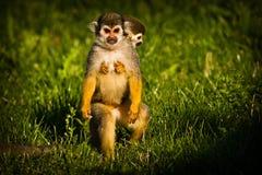 Zentralamerikanische Eichhörnchenaffen stockfotografie