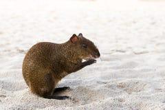 Zentralamerikanisches Goldhase Dasyprocta punctata, das am Strandsand sitzt Stockbild
