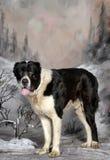 Zentraler asiatischer Schäfer Dog Lizenzfreies Stockfoto