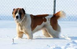 Zentraler asiatischer Schäferhund Lizenzfreie Stockfotografie
