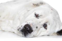 Zentraler asiatischer Schäferhund-Hund stockbild