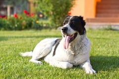 Zentraler asiatischer Schäferhund-Hund Lizenzfreie Stockfotos