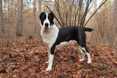 Zentraler asiatischer Schwarzweiss-Schäferhund Lizenzfreies Stockfoto