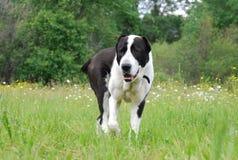 Zentraler asiatischer Schwarzweiss-Schäferhund Lizenzfreie Stockfotografie