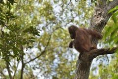 Zentrales Bornean-Orang-Utan Pongo pygmaeus wurmbii auf dem Baum im natürlichen Lebensraum Wilde Natur im tropischen Regenwald vo Lizenzfreie Stockbilder