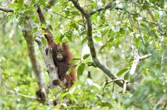 Zentrales Bornean-Orang-Utan Pongo pygmaeus wurmbii auf dem Baum im natürlichen Lebensraum Wilde Natur im tropischen Regenwald vo Lizenzfreies Stockbild