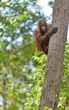 Zentrales Bornean-Orang-Utan Pongo pygmaeus wurmbii auf dem Baum im natürlichen Lebensraum Wilde Natur im tropischen Regenwald vo Stockbilder