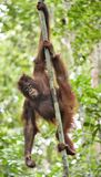 Zentrales Bornean-Orang-Utan Pongo pygmaeus wurmbii auf dem Baum im natürlichen Lebensraum Wilde Natur im tropischen Regenwald vo Lizenzfreie Stockfotos