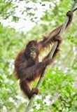 Zentrales Bornean-Orang-Utan Pongo pygmaeus wurmbii auf dem Baum im natürlichen Lebensraum Wilde Natur im tropischen Regenwald vo Stockfoto