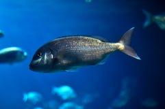 Zentrierte Fische Stockfotografie