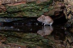 Zenuwachtig alarm weinig muis die in water wordt weerspiegeld stock afbeelding