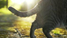 Zenuwachtige kattestaart stock video