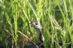 Zenuwachtige Slang in het Gras Stock Foto