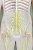 Zenuwstelsel Stock Foto's