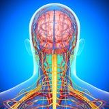 Zenuwstelsel van de bloedsomloop en het van mannelijk hoofd Stock Afbeeldingen