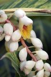 Zenzero di coperture del fiore o zerumbet di Alpinia Fotografie Stock Libere da Diritti