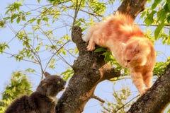 Zenzero e gatti neri sull'albero Immagini Stock