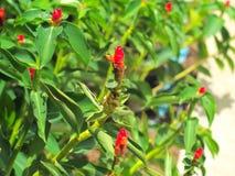 Zenzero rosso o alpinia purpurata Fotografia Stock Libera da Diritti