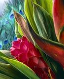 Zenzero rosso (purpurata di Alpinia) Immagini Stock