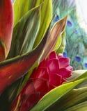 Zenzero rosso (purpurata di Alpinia) Fotografia Stock Libera da Diritti