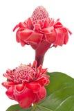 Zenzero tropicale della torcia del fiore isolato Fotografia Stock