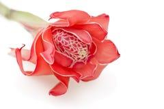 Zenzero tropicale della torcia del fiore su bianco Immagine Stock
