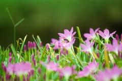 zephyr лилии Стоковое Фото
