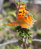 Zephyr Anglewing Hoary Comma Butterfly Stock Image