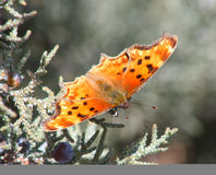 Zephyr Anglewing Hoary Comma Butterfly Stock Images
