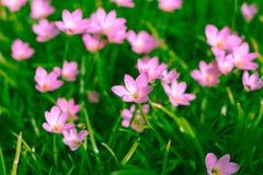 Zephyranthes百合,雨百合,神仙的百合 免版税库存照片