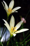 Zephyranthes Foto de archivo libre de regalías