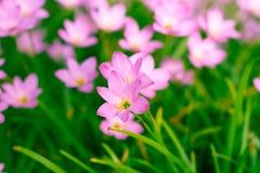 Zephyranthes百合,雨百合,神仙的百合 免版税库存图片
