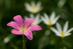 开花大花的zephyranthes 免版税图库摄影