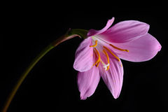 Zephyranthes Stockfoto