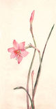 Zephyranthes blüht Aquarellanstrich Lizenzfreies Stockfoto