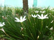 zephyranthes candida zdjęcie royalty free