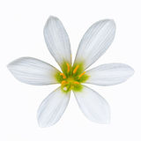 Zephyranthes candida Royalty Free Stock Images