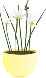 Zephyranthes candida flower. Thermophilic exotic flowers Zephyranthes candida Stock Photos